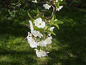 Cherry tree flower.JPG