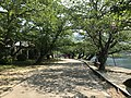 Cherry trees near west entrance of Kintaikyo Bridge.jpg