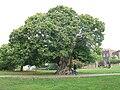 Chestnut tree in Greenwich Park - geograph.org.uk - 2104707.jpg