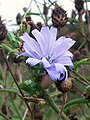 Chicory (Cichorium intybus) (5063372253).jpg
