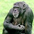 Chimpanzee female Twycross.jpg