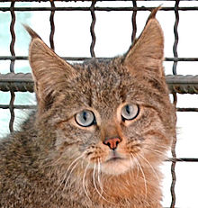Chinese Mountain Cat (Felis Bieti) in XiNing Wild Zoo croped.jpg