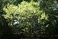 Chionanthus virginicus 14zz.jpg