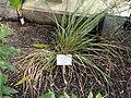 Chionochloa conspicua - Palmengarten Frankfurt - DSC01918.JPG