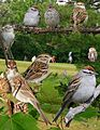 Chipping Sparrow From The Crossley ID Guide Eastern Birds.jpg