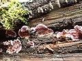 Chondrostereum purpureum 105060578.jpg