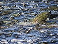Chum Salmon heading up creek wc189.jpg