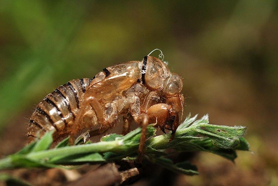 Cicadetta montana exuvia