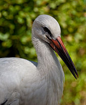 Head, neck and upper body of a white stork with a long beak with is reddish at the base fading to black at the tip
