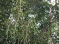Cissus quadrangularis (9859536005).jpg