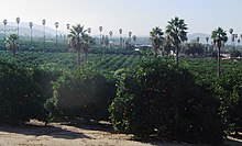 Panoramic view of the citrus groves in the Arlington Heights area of Riverside, California.