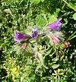 Cladanthus arabicus. and Narrow-leaved Bugloss. - Flickr - gailhampshire.jpg