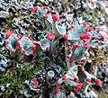 Cladonia borealis S. Stenroos 984066.jpg