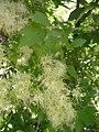 Clematis ligusticifolia-8-27-04.jpg