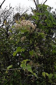 Clematis virginiana SCA-04829.jpg