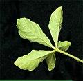Cleome viscosa L. (AM AK302073-11).jpg