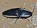 Click Beetle (Chalcolepidius virginalis) (6788326863).jpg