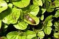 Click beetle (BG) (13357372473).jpg