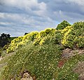 Cliff Top Flowers (31387121111).jpg