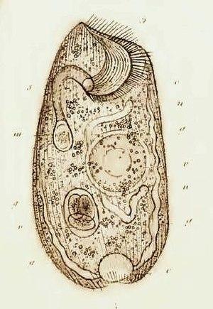 Climacostomum - Climacostomum, from Friedrich Stein, Der Organismus der Infusionsthiere, 1859