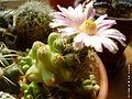 CmacromeriViolaceae002 (525527679).jpg