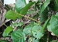 Coccoloba uvifera 5.jpg