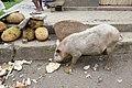 Cochon se nourrissant d'écorces de jacquier à São João dos Angolares (São Tomé).jpg