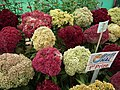 Cockscomb from Lalbagh flower show Aug 2013 8439.JPG