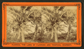 Coconut trees, from Robert N. Dennis collection of stereoscopic views.png