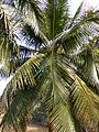 Coconut trees of Bangladesh 02.jpg
