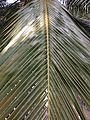 Coconut trees of Bangladesh 07.jpg