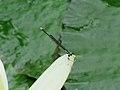 Coenagrionidae sp. (26321665227).jpg