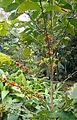 Coffea arabica Nazareth kz1.JPG