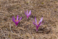 Colchicum trigynum 40173515.png