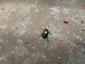 Colorful beetle from Brasília, Brazil in the ground 3.png