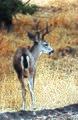 Columbian black-tailed deer (20277287068).jpg
