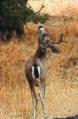 Columbian black-tailed deer (20278659209).jpg