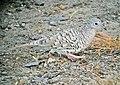 Columbina squammata Tortolita escamada Scaled Dove (8492773882).jpg