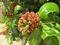 Combretum constrictum - Powderpuff Combretum 2014 (12).jpg