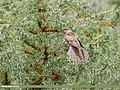 Common Cuckoo (Cuculus canorus) (49953927446).jpg