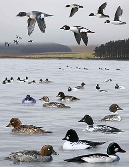 Common Goldeneye from the Crossley ID Guide Britain and Ireland