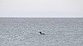 Common Loon (Gavia immer) - Elliston, Newfoundland 2019-08-13.jpg