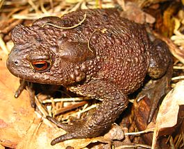 Common Toad (Bufo bufo).jpg