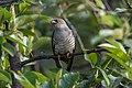 Common cuckoo (Cuculus canorus) SRI 32.jpg