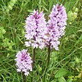 Common spotted orchids (SG) (30303215470).jpg