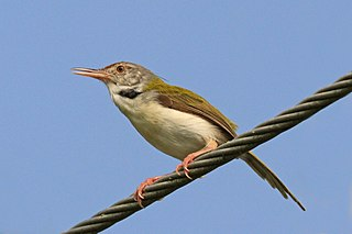 Common tailorbird (Orthotomus sutorius).jpg