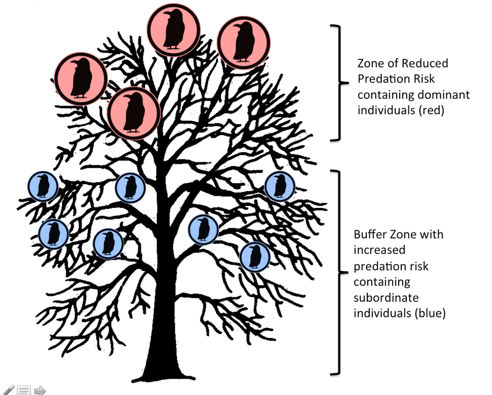 Communal Roosting Under the Two Strategies Hypothesis