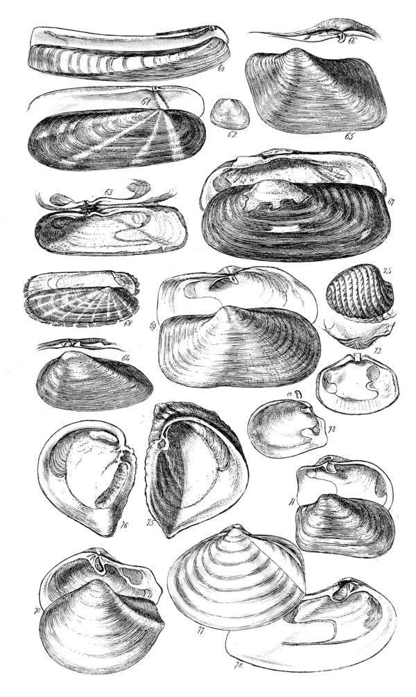 A Conchological Manual Plate 3