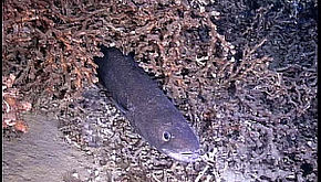 Description de l'image Conger eel01.jpg.