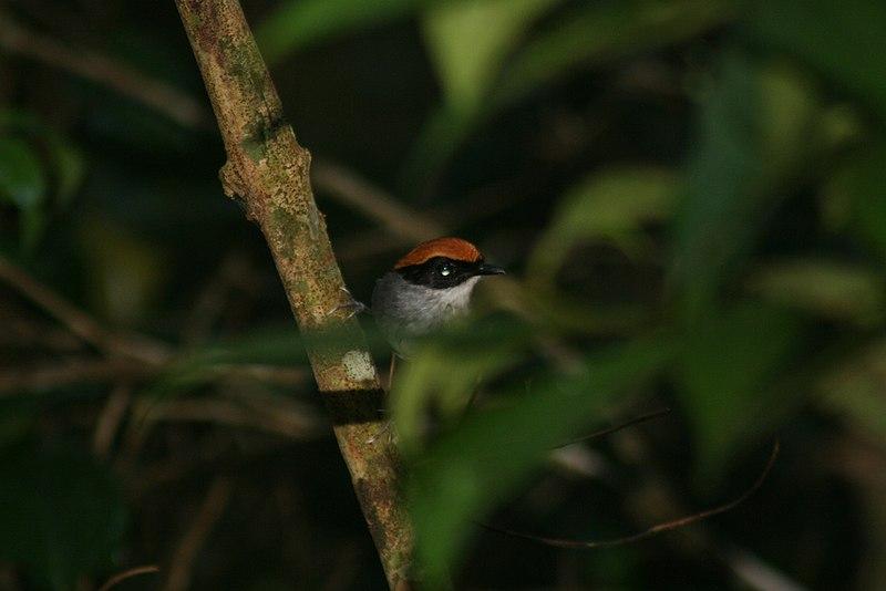 Ficheiro:Conopophaga melanops.jpg